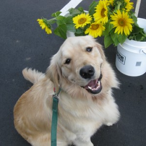 Happy golden retriever.